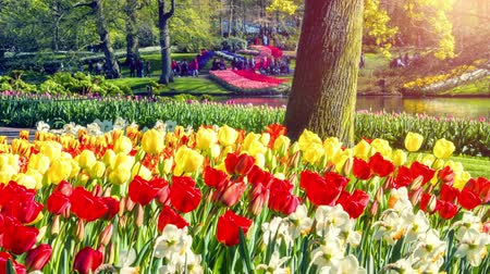 Beautiful spring park covered by daffodils and tulips. Full HD, 1080p Stok Video
