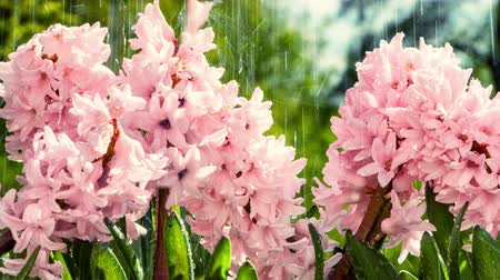 Blooming pink hyacinths at rainy summer weather. 4K, Ultra High Definition, Ultra HD, UHD, 2160P, 3840 x 2160