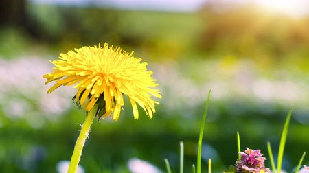 Spring background with yellow dandelion. 4K, Ultra High Definition, Ultra HD, UHD, 2160P, 3840 x 2160 Stok Video