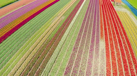 Take off and aerial view of multicolor tulips field. Full HD, 1080p