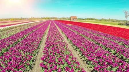 голландский : Aerial view of tulips field at sunny spring day. Full HD, 1080p