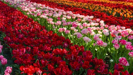 Beautiful panoramic landscape with multicolor tulips. Full HD, 1080p