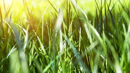 çim : Green grass closeup. Nature background. Slider shot, Full HD, 1080p