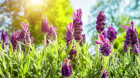 Blooming lavender on sunny summer day. Nature background, slider shot. 4k, Ultra High Definition, Ultra HD, UHD, 2160P, 3840 x 2160