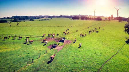 Aerial view of summer countryside with grazing cows. Full HD, 1080p