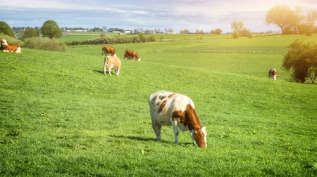 Green field with grazing cows on sunny summer day. 4K, Ultra High Definition, Ultra HD, UHD, 2160P, 3840 x 2160