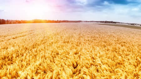 Flying over golden wheat field at sunny day. Aerial view. Full HD, 1080p