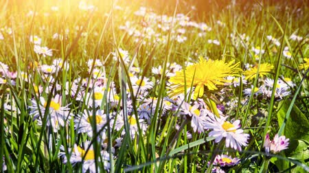 Summer landscape with daisies and dandelions. 4K, Ultra High Definition, Ultra HD, UHD, 2160P, 3840 x 2160