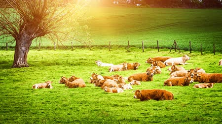 pastar : Green field with grazing cows at sunny summer day. Full HD, 1080p