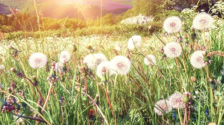 crescimento : Summer landscape with dandelions. 4K, Ultra High Definition, Ultra HD, UHD, 2160P, 3840 x 2160 Stock Footage