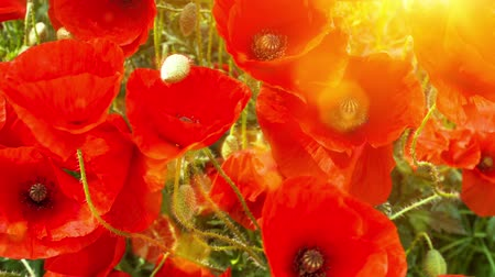 Blooming poppies on sunny summer day. Nature background, slider shot. Full HD, 1080p