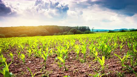 Agricultural field with green corn sprouts. Time lapse, 4K, Ultra High Definition, Ultra HD, UHD, 2160P, 3840 x 2160