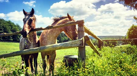 Summer landscape with two young horses eating fresh grass. Full HD, 1080p Stok Video
