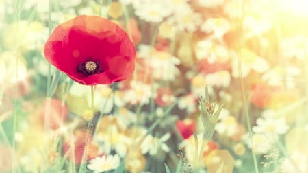 haşhaş : Closeup of red poppy on summer flower field. Nature background. Full Hd, 1080p