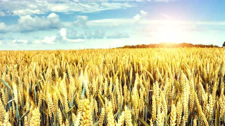 Panoramic view of agricultural wheat field. 4k, Ultra High Definition, Ultra HD, UHD, 2160P, 3840 x 2160