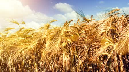 Walking in wheat field at sunny autumn day. Slider shot. Full HD, 1080p