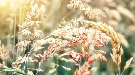 Closeup of wild grass on windy weather. Nature background. Environment concept. 4k, Ultra High Definition, Ultra HD, UHD, 2160P, 3840 x 2160 Stok Video