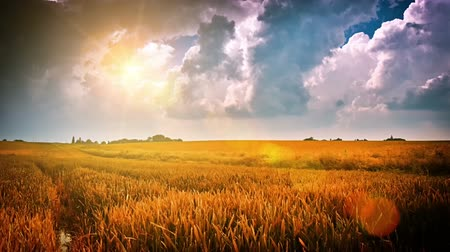 pszenica : Beautiful sunset over summer wheat field. Timelapse, Full HD, 1080p