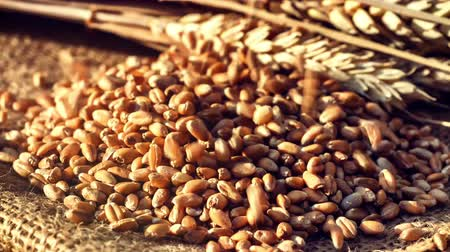 otruby : Closeup clip of falling wheat grains. Food industry. 4k, Ultra High Definition, Ultra HD, UHD, 2160P, 3840 x 2160
