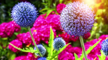 Closeup of globe thistle flowers and pink hortensia. Nature background. 4k, Ultra High Definition, Ultra HD, UHD, 2160P, 3840 x 2160