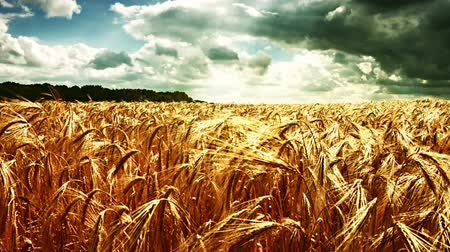 Discovering wheat field from the ground to the top at cloudy summer day. Nature background. Full HD, 1080p