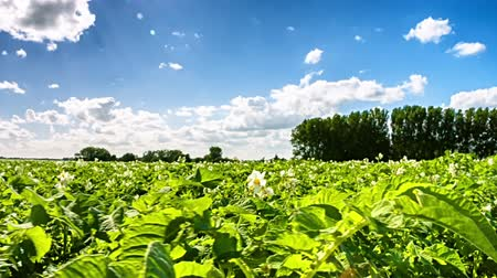 Agricultural field with green potato sprouts. Agricultural background Stok Video