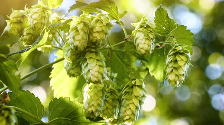 Closeup of hop cones. Agriculture and beer making concept. 4K, Ultra High Definition, Ultra HD, UHD, 2160P, 3840 x 2160