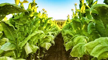 Walking in tobacco field on sunny summer day. Agricultural background. Full HD, 1080p Stock Footage