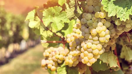 Organic grape on vine branches, zoom in. Agricultural background. Full HD, 1080p Stock Footage