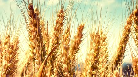 Agricultural landscape with golden wheat field. Closeup shot, zoom in. Full HD, 1080p