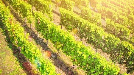 Aerial view of vineyard at sunny summer day. Agricultural background with flying over vineyard. Full HD, 1080p