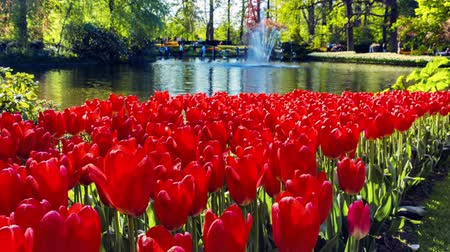 Flower landscape with beautiful red tulips in spring park. Flower background. Panoramic view, full HD, 1080p