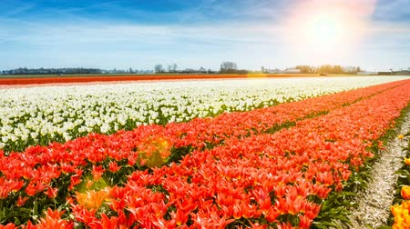 Aerial view of multicolor tulip field at sunny spring day. Nature background. Full HD, 1080p