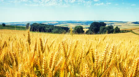 Golden wheat field at sunny day. Agricultural background. Full HD, 1080p Stock Footage