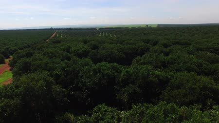 backgroundpictures : Orange plantation in sunny day - Aerial view in Brazil