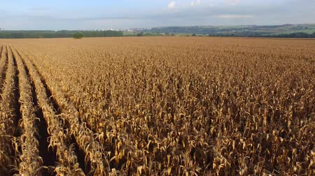 backgroundpictures : Aerial flight over corn field. Brazil.