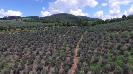 minas gerais : Aerial view of olive grove and soil ploughed in Brazil
