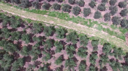 minas gerais : Aerial view of olive grove and soil ploughed in Brazil.