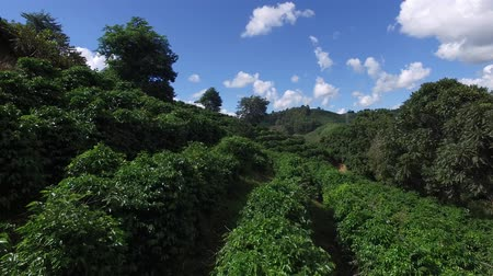 minas gerais : Coffee plantation in sunny day in Brazil. Coffee plant. Stock Footage