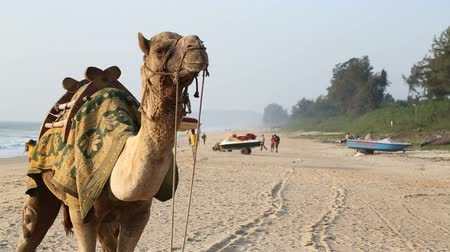 camelo : Portrait of camel at sandy beach in Goa. Stock Footage