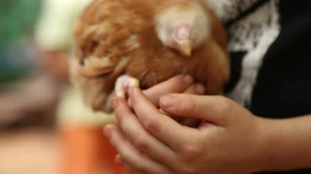 goan : Child holding young chicken. Stock Footage