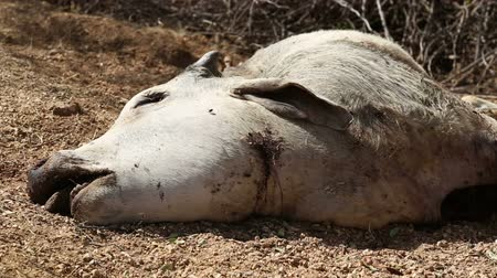 rana : Head of dead cow with shot wound and flies flying around the body, closeup. Wideo