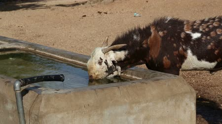 lavatório : Young cow drinking water from outdoors washbasin at field in Jodhpur.