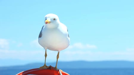 racek : Seagull sitting on sailboat railing enjoying the ride Dostupné videozáznamy