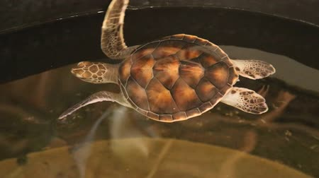 projects : Baby turtles swimming in pool at Kosgoda Lagoon Turtle hatchery