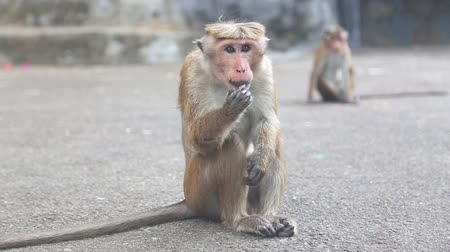 monkey temple : Monkey near the Golden Temple of Dambulla.