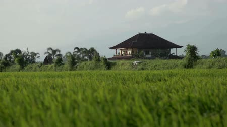 plantio : Paddy fields and rice grass moving in the wind Stock Footage