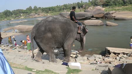 elefant : HAMPI, INDIA - 28 JANUARY 2015: Elephant Lakshmi entering in to the river carrying man on his backs. Stock Footage