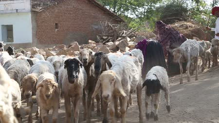 urge : JODHPUR, INDIA - 13 FEBRUARY 2015: Herd of sheeps walking down the road, with cattle keeper urging them. Stock Footage