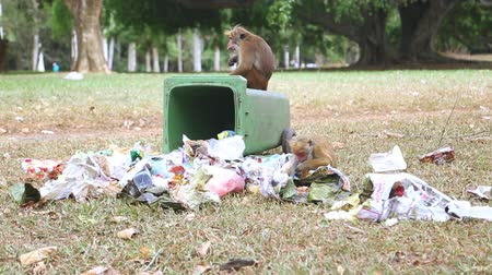 lixo : KANDY, SRI LANKA - FEBRUARY 2014: Two monkeys going through trash can in the botanical gardens in Kandy. Kandy is a major city in Sri Lanka, second biggest after Colombo. Stock Footage